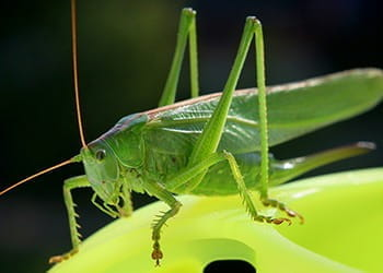 A lucky cricket,