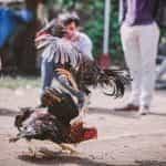 Cockfighting.