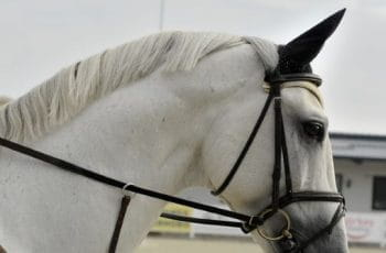 A white horse with reigns and bridle.