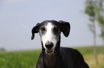 A black and white greyhound.
