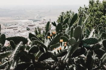 A cluster of cacti overlook a dusty village in Medina-Sidonia, Spain.