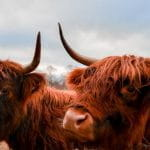 A pair of Scottish highland cattle.