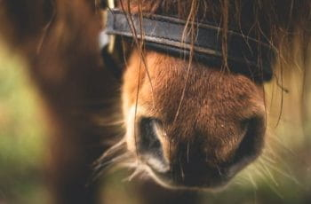 A horse's nose wearing a bridle.