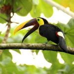 A toucan stands on a branch on a tree in Costa Rica.