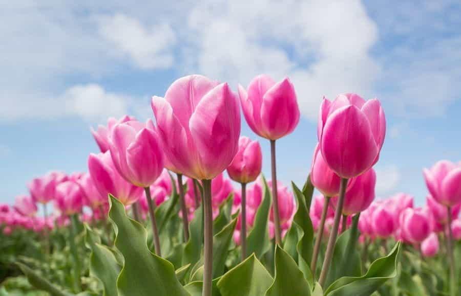 Sebuah ladang tulip di Belanda.