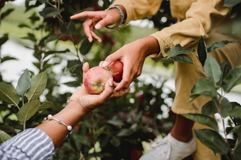 Two people picking apples together.