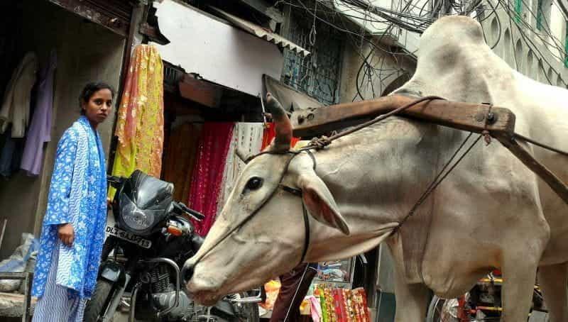 Seorang wanita dan seekor sapi di New Delhi.