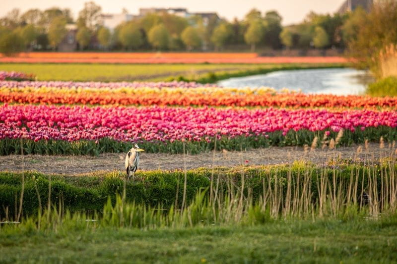 A grey heron resting in front of a field of tulips on a gorgeous, blooming day in the Netherlands.