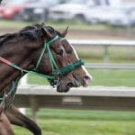 Dua kuda berlomba secara kompetitif.
