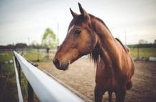 A brown racehorse in a paddock.