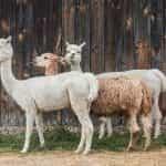 Tiga alpaka berdiri di depan pagar kayu.