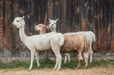 Three alpacas stand in front of a wooden fence.