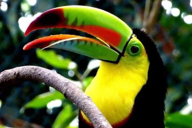 Seekor toucan di Kolombia.