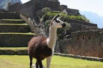A llama outside of ruins in Peru.