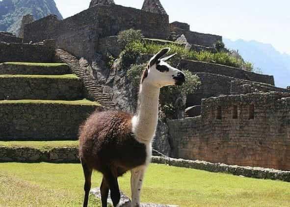Seekor llama di luar reruntuhan di Peru.