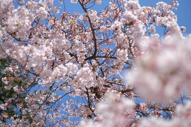 Pohon Sakura Mekar.